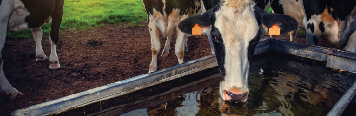 blog image - cow drinking-01