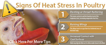 Heat Stress Tips For Poultry - Promo-01