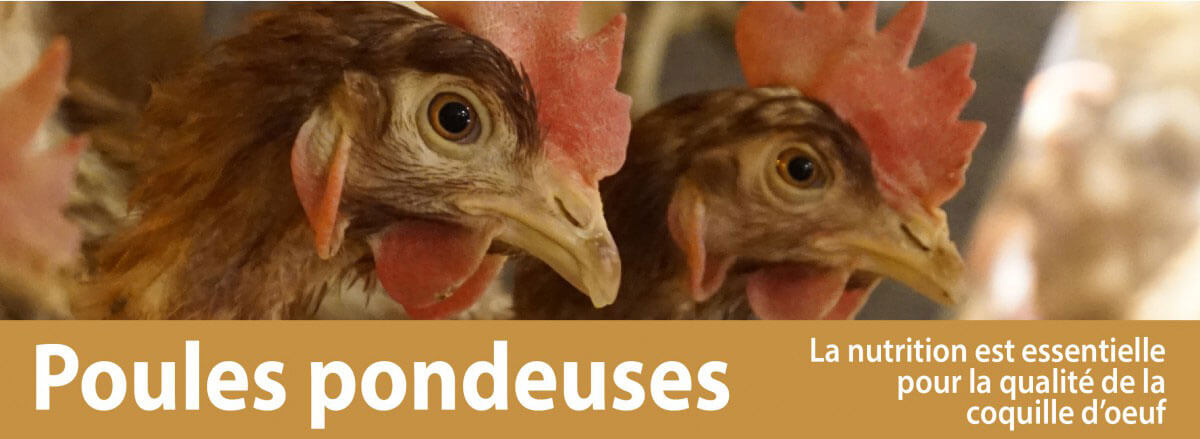 poules pondeuses- french